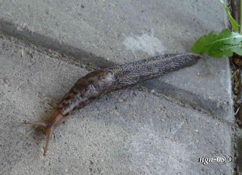 Stor trädgårdssnigel (Limax maximus)